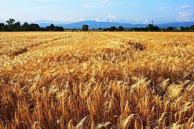 farro field in italy
