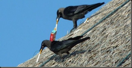 smoking crows