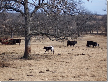 cows and calves 001