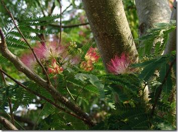 mimosa 4