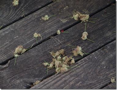 mimosas leavins 001