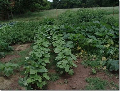 garden and g.b. squash 008