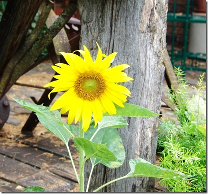 Sunflower, donkeys and phlox 001