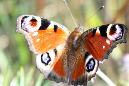 sommerfugl6aaa