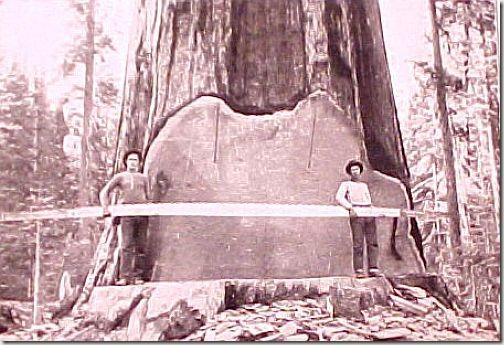 enormes árboles talados cosasdivertidas (1)