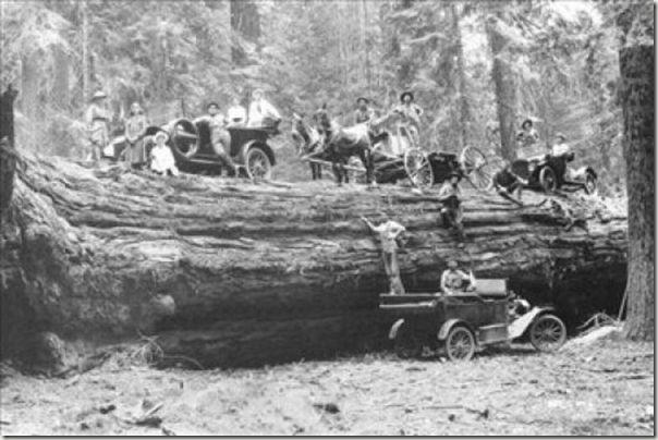 enormes árboles talados cosasdivertidas (29)