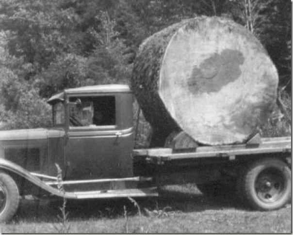 enormes árboles talados cosasdivertidas (34)