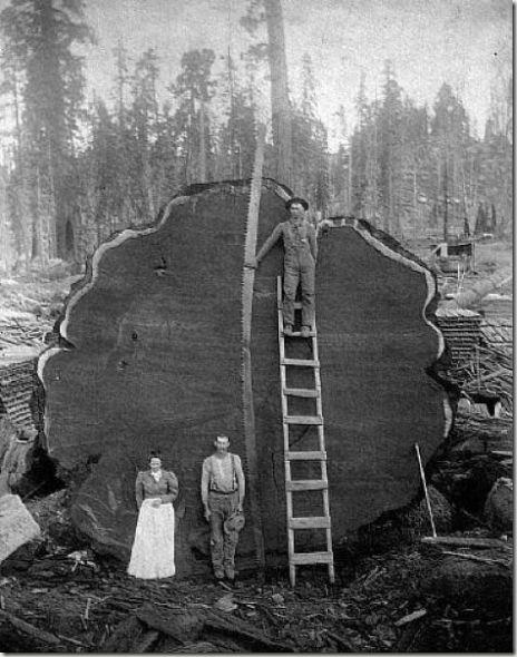 enormes árboles talados cosasdivertidas (36)