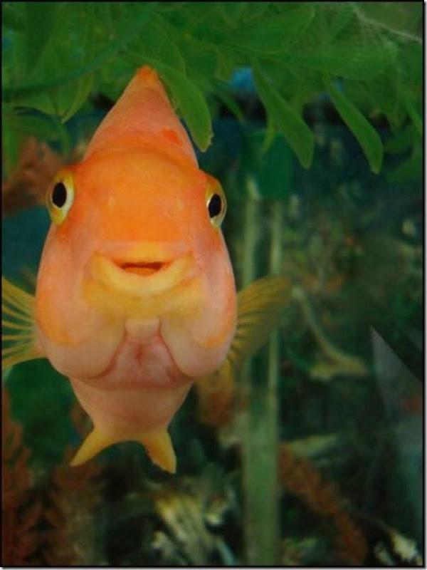 caras de pez casi humana migallinero (10)
