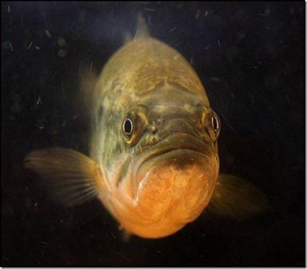 caras de pez casi humana migallinero (5)
