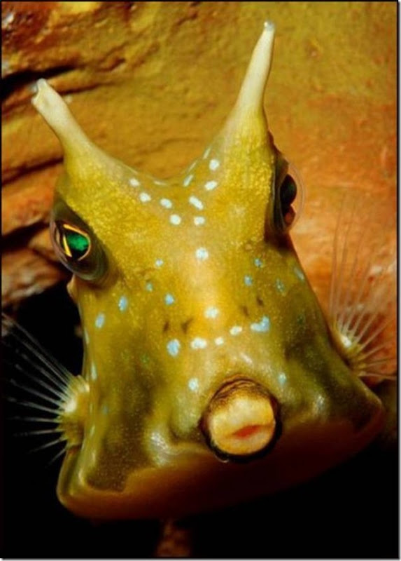 caras de pez casi humana migallinero (120)