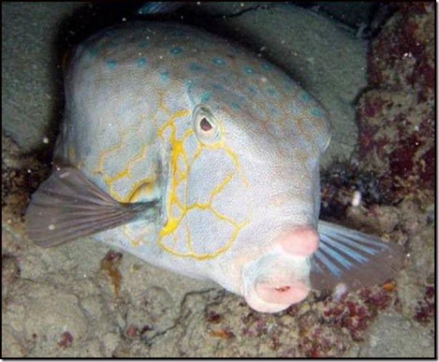 caras de pez casi humana migallinero (126)