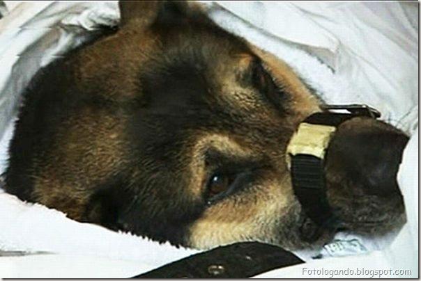 Dramático resgate de um cachorro (13)