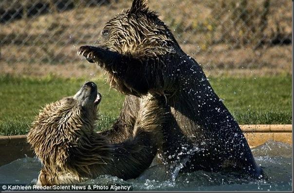 Urso brincando com treinador no zoológico (4)