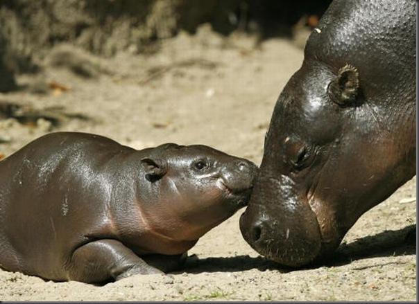 Hipopotamo pigmeu recem nascido (11)