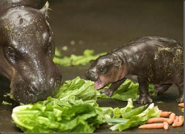 Hipopotamo pigmeu recem nascido (5)