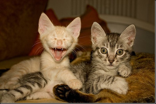 Fotos de gatinhos fofos bocejando (5)