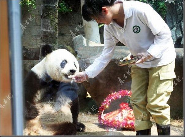 Panda mais velha da China completa 30 anos (6)