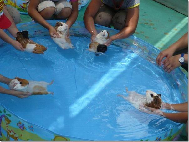 Aula de natação para Hamsters
