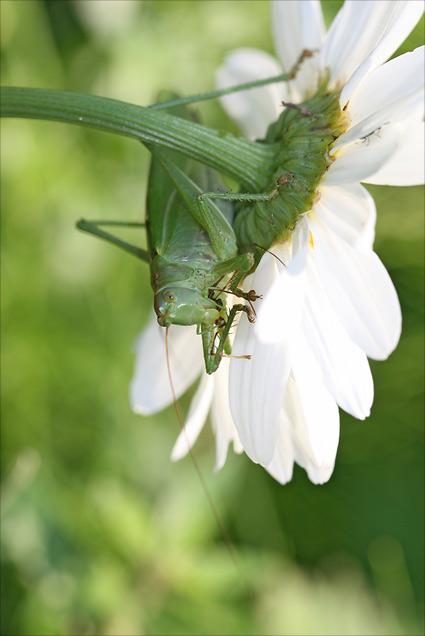 repas de sauterelle verte