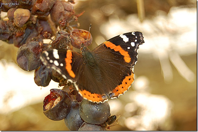 mariposa 10-11-2008