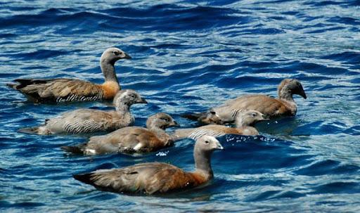Family of Magellan Goose. Photo: Horacio Iannella