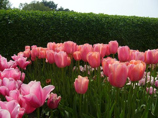 tulipas rosa