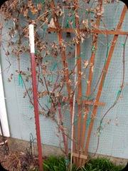 pruningclematis