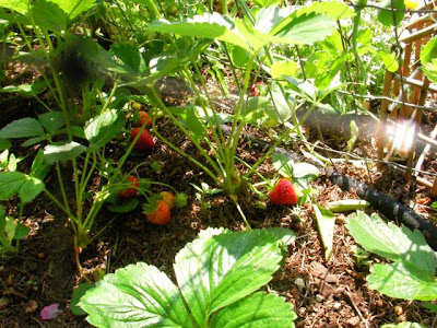 strawberries almost ready!