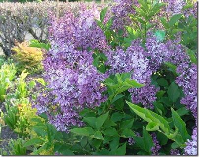 lilacs1b