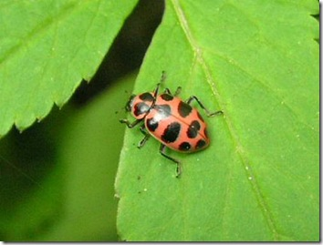 ladybugpink