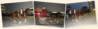 View Budweiser Clydsdales