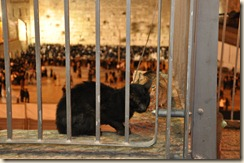 Even the cats come to pray...Cat in front of Wailing Wall on Shabbat