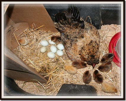 Blog farm hen and 9 chicksIMG_2759