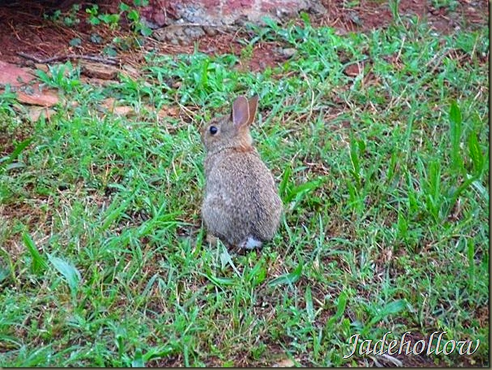 BackYardBunnyBaby