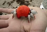 Plastic Crab-Sheva Apelbaum