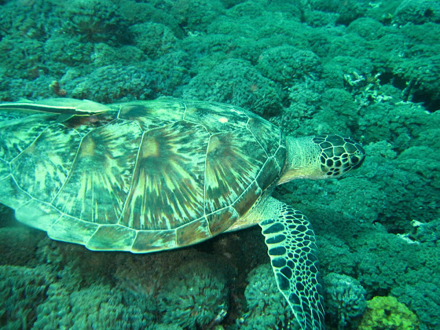 Green turtle (~1.5m), Shark Point, Gili Trawangan