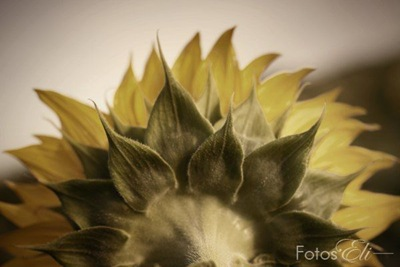 Back of Sunflower by Elizabeth Lovelace [FotosEli]