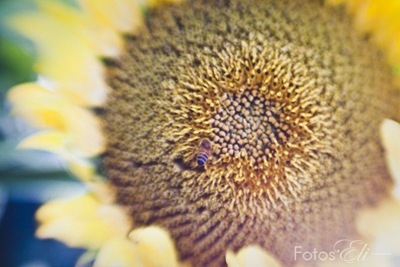 Sunflower with Bee by Elizabeth Lovelace [FotosEli]