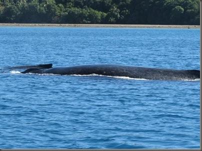 Whale in Vava'u, Tonga
