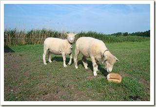 nieuwe schapen 002