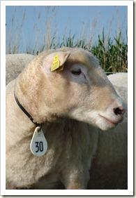 nieuwe schapen 010