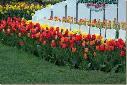 2011-04-15 Tulips (1).DNG