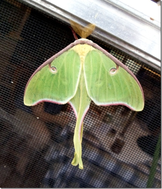 luna moth three