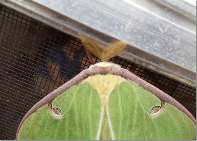 Luna moth on the screen