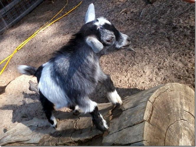 frisky baby goat