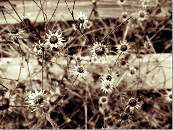 daisies sepia