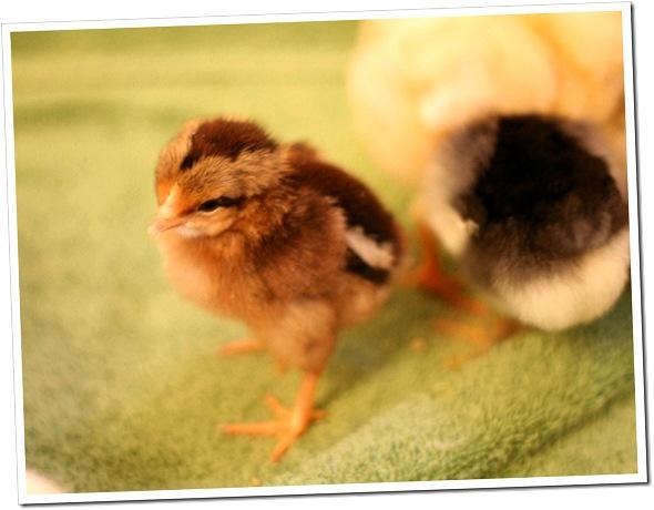 My New Baby Chick