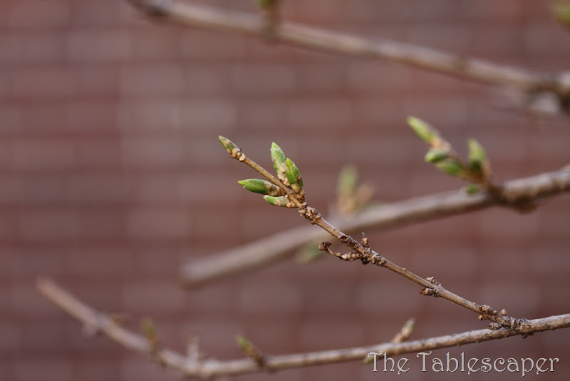 budding march 012