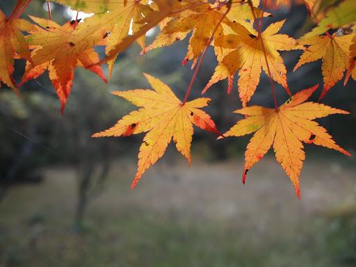 [写真]かろうじて残っていた紅葉